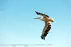 Pelican - 6