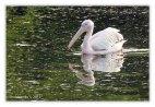 Pelican - 8