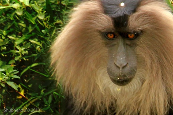 Lion Tailed Macaque Monkey...
