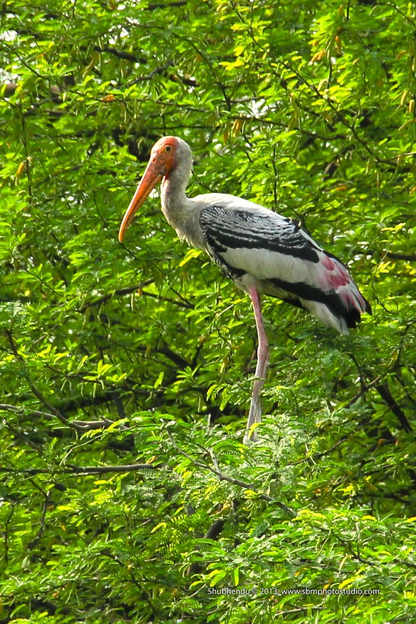 painted storks...