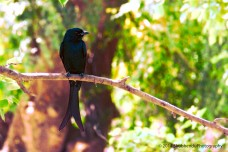 "Black Drongo ""Through my lens"""