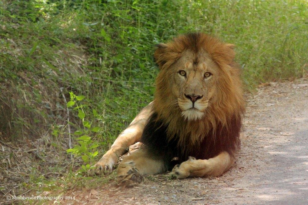 Lion King... Bangalore National Forest SAFARI.....