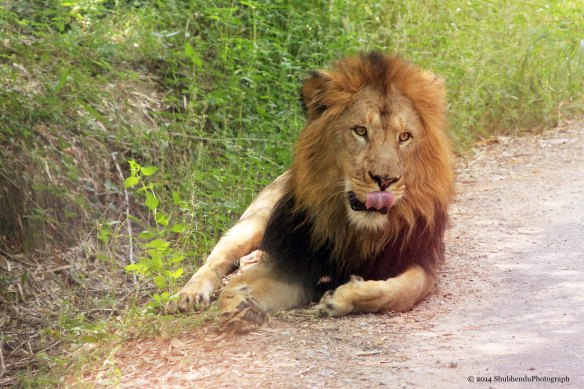 Lion the King... Bangalore National Forest SAFARI.....