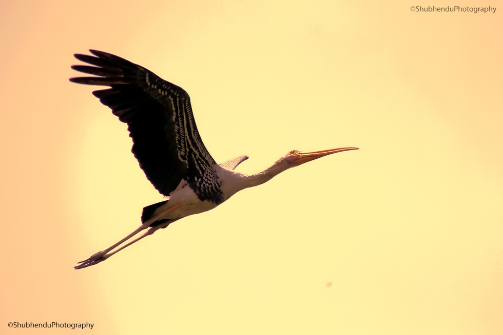 Painted Stork...